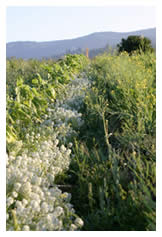 Sweet alyssum row among the crops