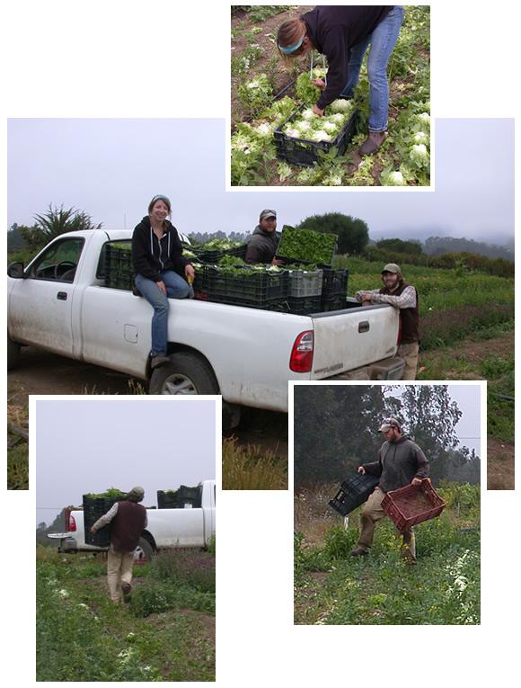 Apprentices harvesting lettuce