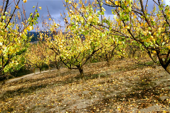 Golden leaves blanket the ground beneath the apricot trees