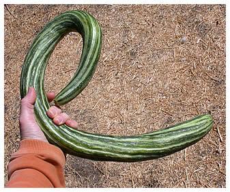 "Armenian ""snake"" cucumber"