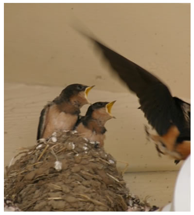 more baby swallows on the farm