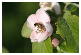 bee on a quince blossom