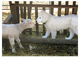 New puppy Cella nose to nose with a baby lamb