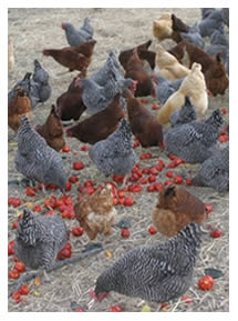 LEF chickens eating left-over tomatoes