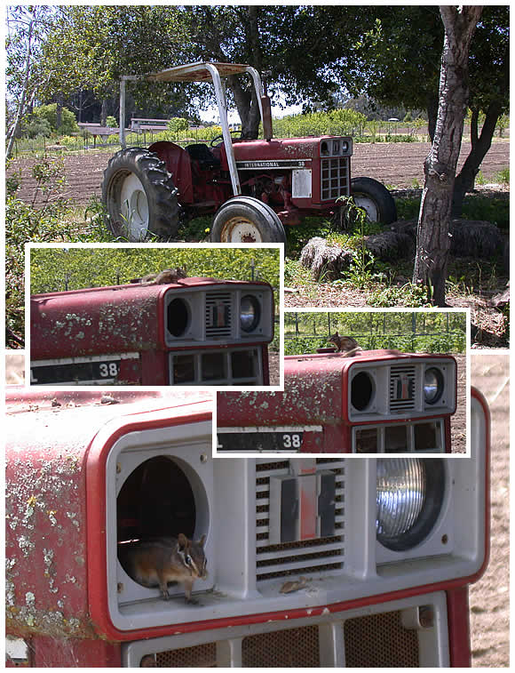 a chipmunk has taken up residence in the old International tractor