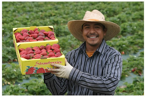 Clemente displaying a beautiful flat pack of strawberries he just picked