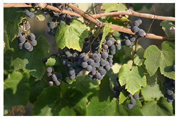 ripe concord grapes