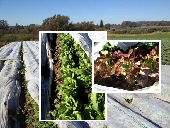 Lettuces under row cover