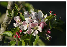 Exquisite Gala apple blossoms!
