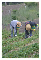 workers hand-picking strawberries