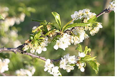Satsuma plums in blossom