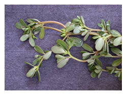 closeup of purslane