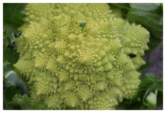 Beautiful fractal patterns in Romanesco Cauliflower