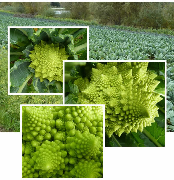 Beautiful chartreuse fractals of Romanesco Cauliflower