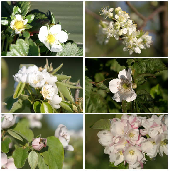 blossoms from fruit in the rosaceae family