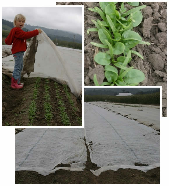 putting row cover over baby spinach