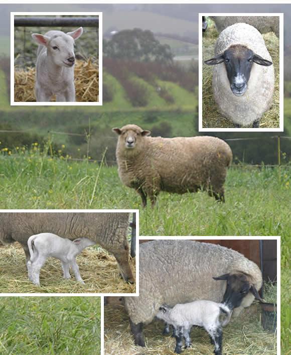 Sheep on the farm!