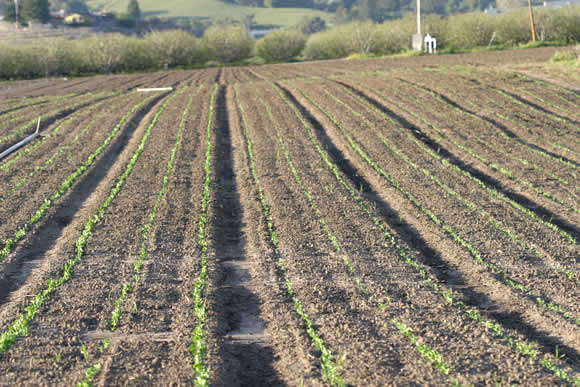 newly planted fields of sugar snap peas