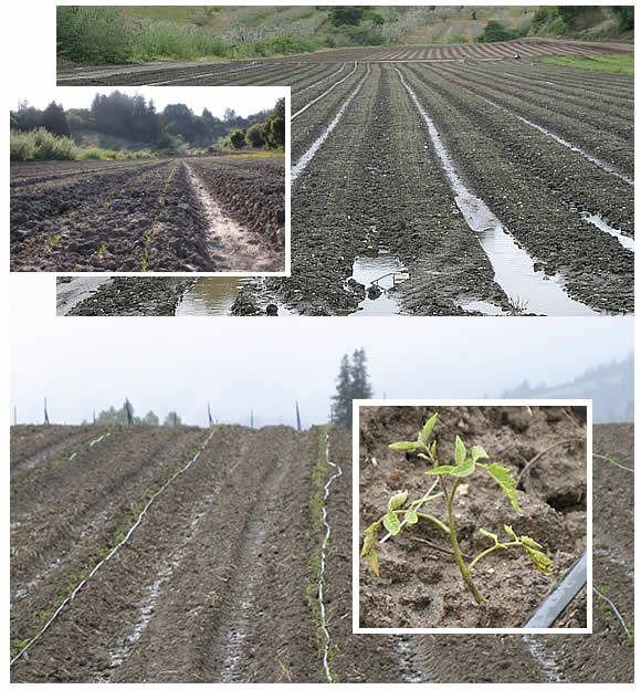 Soggy carrot and tomato fields, April 2010