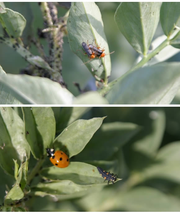 closeup of soldier beetles (top) and ladybug and nympn (bottom)