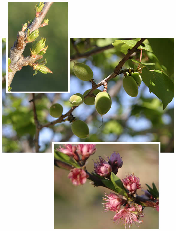 Pear buds, fuzzy green apricots, quince blossoms