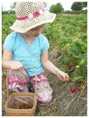 Little girl picking strawberries