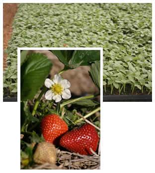 Spring strawberries and cucumber seedlings