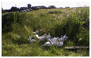 Surfside's chickens in a sea of green pasture