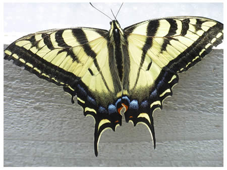 swallowtail butterfly on greenhouse