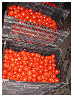 crates of dry-farmed tomatoes