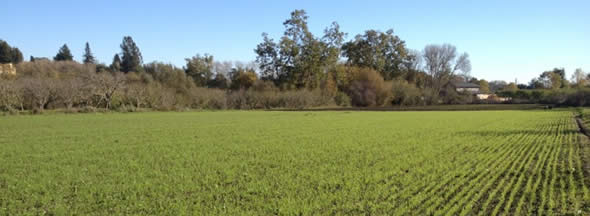 Farm field with winter cover crop